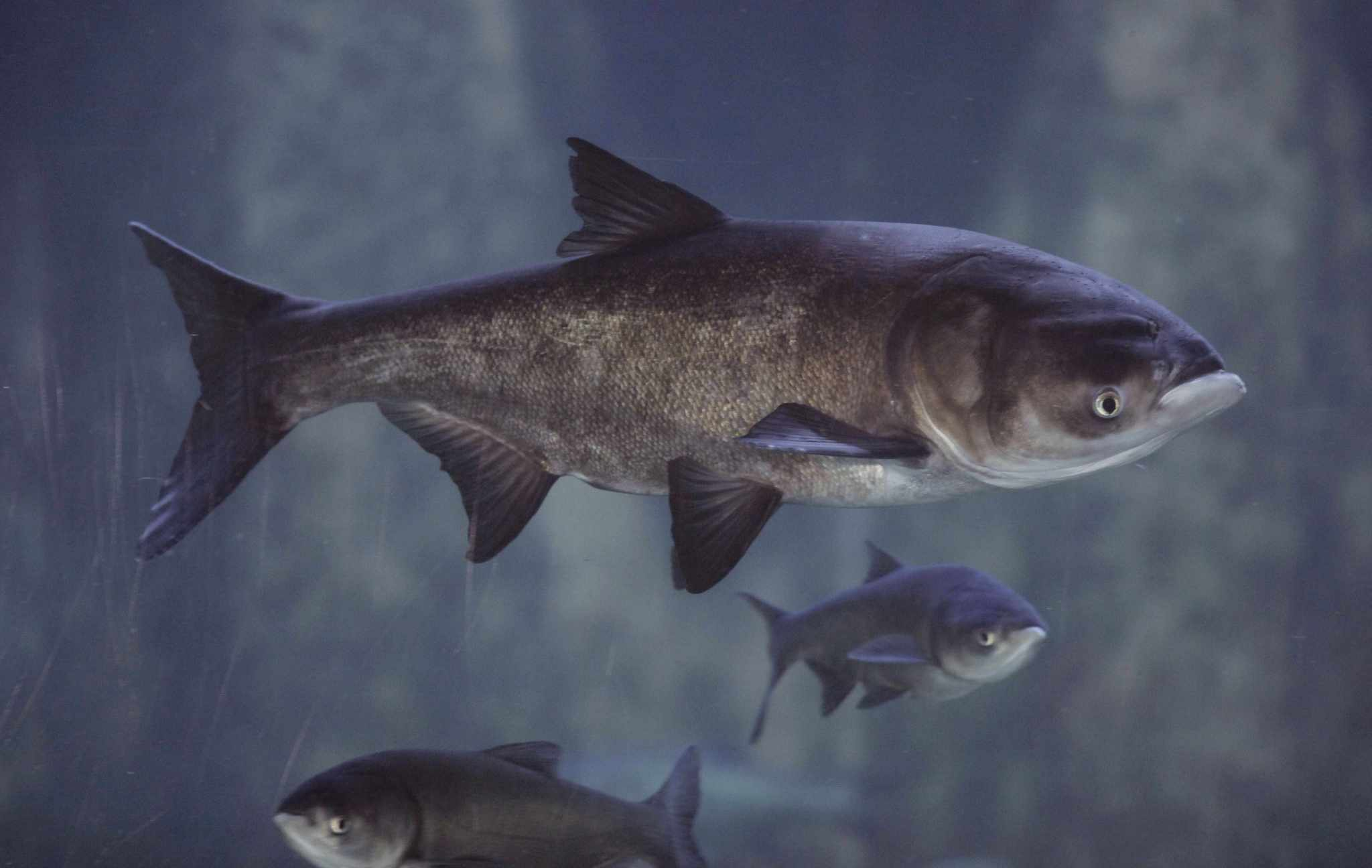 Asian Carp (Bighead and Silver)